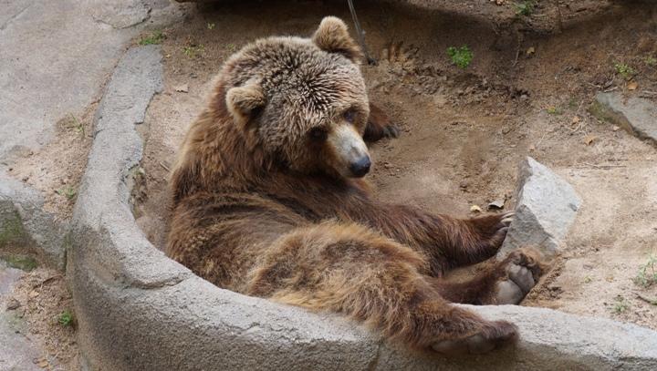 Медведь-зоопарк-Барселоны