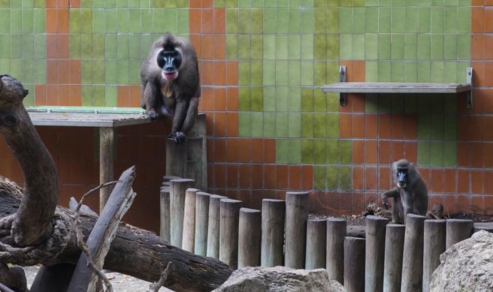 Обезьяны-зоопарк-Барселоны