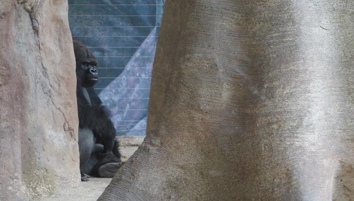 Горилла-зоопарк-Барселона
