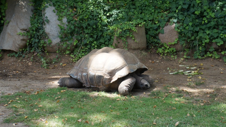 гигантская-черепаха