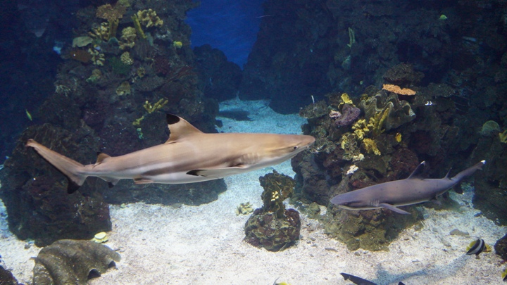 Акулы-Океанариум-Барселоны