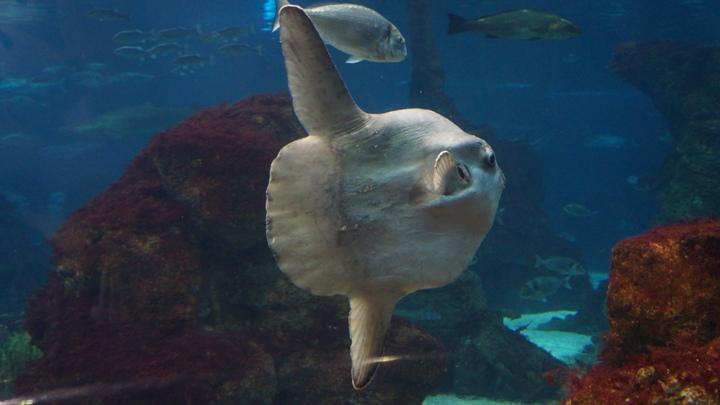 Рыба-луна-аквариум-Барселоны