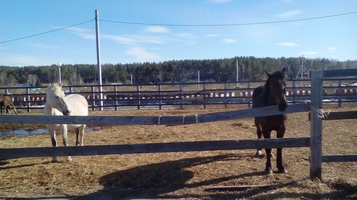 Санаторий-Обуховский-лошади