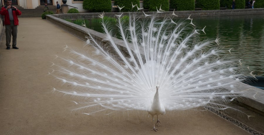 Белый-павлин