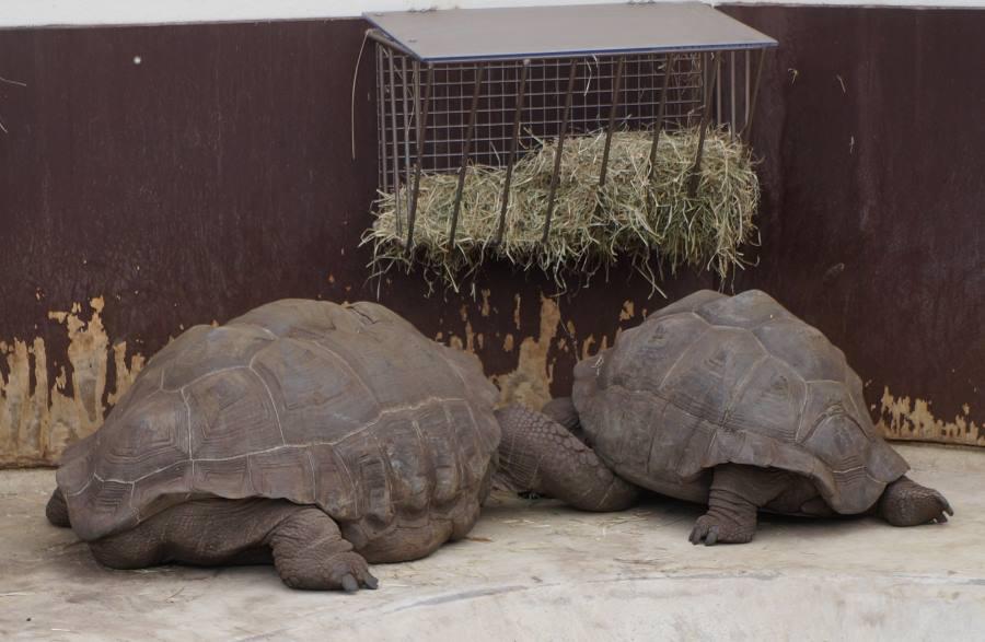 Гигантские-черепахи