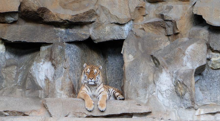 Тигр-Зоопарк-Берлин
