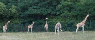 Жирафы-зоопарк-Берлина